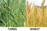 tares_wheat